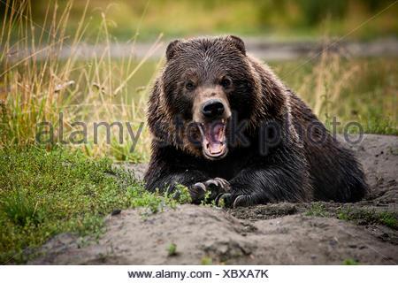 Ours grizzli (Ursus arctos horribilis) avec de larges mâchoires ouvertes, geste menaçant, Valdez, Alaska, United States Banque D'Images