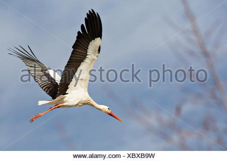 Cigogne Blanche (Ciconia ciconia) landing, parc naturel de la forêt de Teutoburg, Parc Egge, Rhénanie du Nord-Westphalie, Allemagne Banque D'Images
