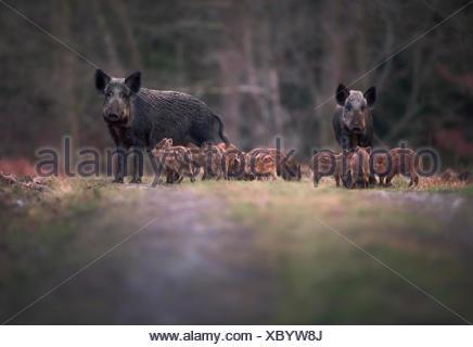 Anémomètre de sanglier (Sus scofa) famille sur sentier, forêt de Dean, Gloucestershire, England, UK Banque D'Images