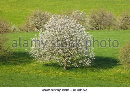 Cherry Tree, le cerisier (Prunus avium), la floraison des cerisiers, Suisse