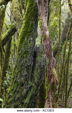 Les troncs des arbres couverts de mousse dans une forêt de nuages, le Parc National de Garajonay, La Gomera, Canary Islands, Spain, Europe Banque D'Images