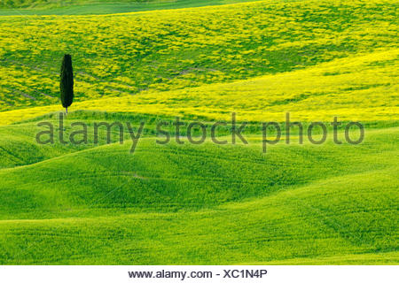 Cyprès (Cupressus sempervirens), vert et vallonné Farmland with Cypress, Val d' Orcia, San Quirico d'Orcia, Italie, Toscane Banque D'Images