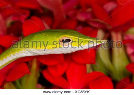 Close-up of a Green serpent de vigne (Ahaetulla nasuta) Banque D'Images