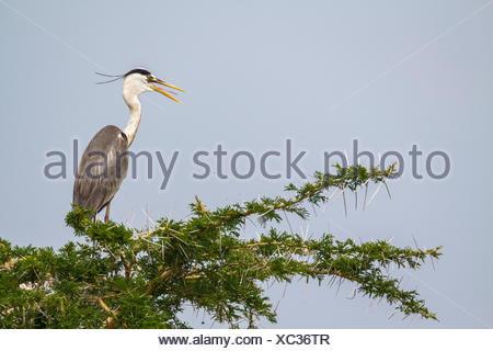 Un héron cendré, Ardea cinerea, perché en haut d'un arbre. Banque D'Images