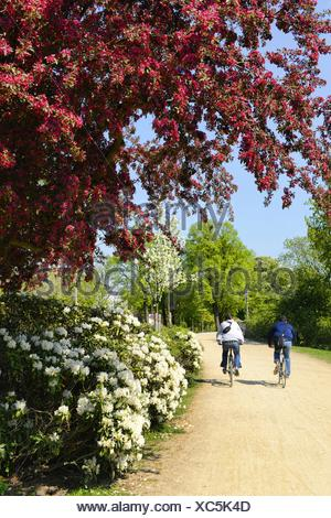 Eley pommetier (Malus x purpurea, Malus purpurea), de fleurs de Rhododendron à Sonne-post en Uhlenhorst, Allemagne, Hambourg Banque D'Images