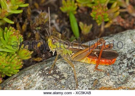 Stripe-winged grasshopper, bordée sauterelle (Stenobothrus lineatus), homme assis sur une pierre Banque D'Images