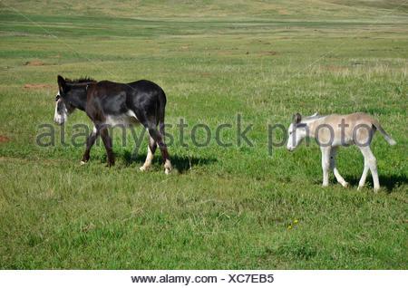 """Un bébé âne suit sa mère sur un chemin près de la """"boucle"""" de la faune dans la région de Custer State Park, dans le Dakota du Sud. Banque D'Images"""