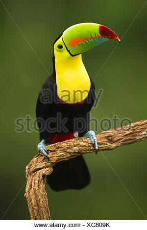 Toucan à carène, en plumage nuptial complet, Laguana del Lagarto, Costa Rica Banque D'Images