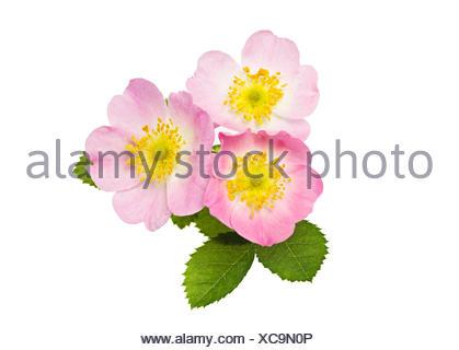 Fleurs de Sweet Briar ou Eglantine Rose (Rosa rubiginosa) Banque D'Images