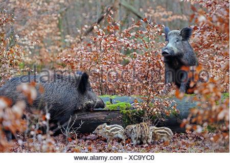 Le sanglier, le porc, le sanglier (Sus scrofa), les truies sauvages avec shoats en forêt d'automne, en Allemagne, en Rhénanie du Nord-Westphalie Banque D'Images