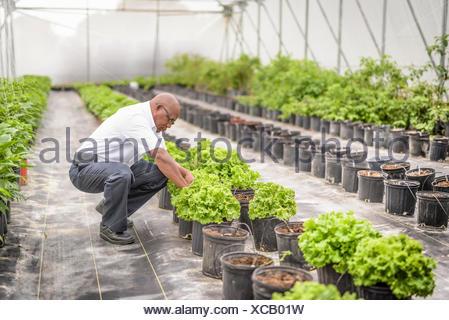 Manager L'inspection en culture hydroponique laitue ferme à Nevis, West Indies