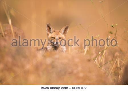 La red fox (Vulpes vulpes). Le renard roux est le plus grand des vrais renards, tout en étant le plus géographiquement membre de la carnivor Banque D'Images