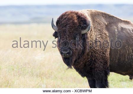 Bison des plaines (Bison bison bison), Bull, le parc national des Prairies, en Saskatchewan. Banque D'Images
