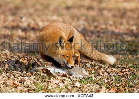 Le renard roux, Vulpes vulpes, homme avec un Kill, un lapin sauvage, Normandie