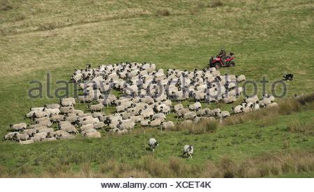 L'élevage de moutons, agriculteur sur quadbike avec de berger, Les brebis et les agneaux Swaledale rassemblement pour faire, à l'effritement, forêt de Bowland, Banque D'Images
