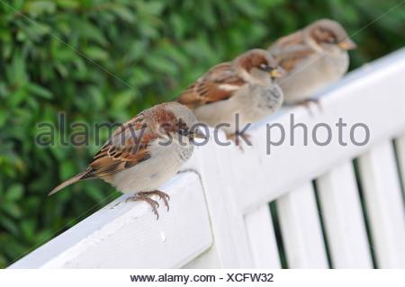 Moineau domestique (Passer domesticus), assis côte à côte sur le dossier d'un banc de parc, Allemagne Banque D'Images