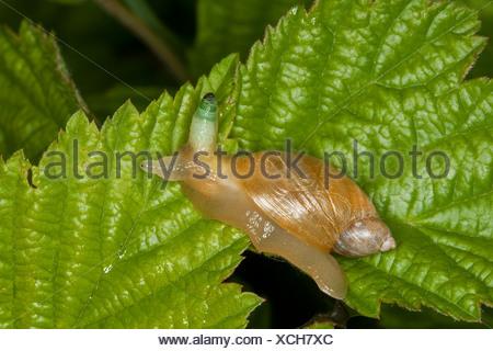 Escargot orange pourrie, grand escargot orange, O. h. kanabensis (Succinea putris européenne), avec l'antenne en parasite Leucochloridium paradoxum, Allemagne Banque D'Images