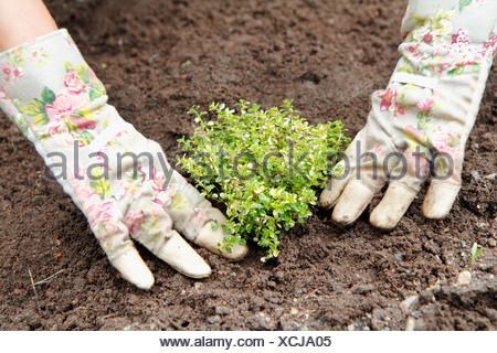 Mains la plantation thym