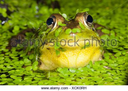 Le nord de l'étang de la grenouille verte, le Centre de PA, USA (Rana clamitans)