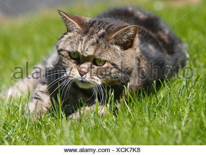 British Shorthair. Tomcat (11 ans) est posé sur une pelouse. Allemagne Banque D'Images