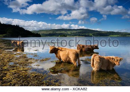 Highland cattle dans une ferme de l'Connel. Banque D'Images