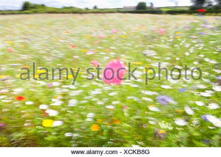 Floue, Soft focus, prairie de fleurs Banque D'Images