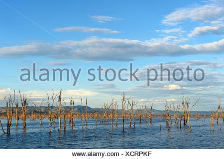 Arbres Mopane morts (Colophospermum mopane) partiellement submergée dans le lac Kariba. Matusadona National Park, Zimbabwe Banque D'Images