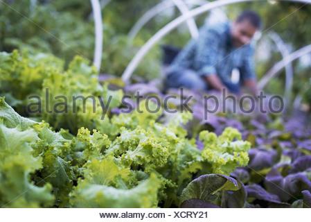 Woodstock, New York USA agriculteur travaillant parmi les plantes les légumes feuilles de salade Banque D'Images