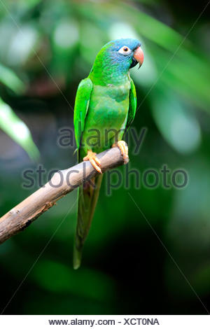 Toui à queue, (thectocercus acuticaudatus), des profils sur attendre, captive, l'occurrence l'Amérique du Sud Banque D'Images