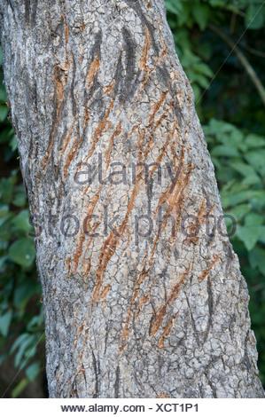 Griffe de tigre Mark rayures sur le tronc de l'arbre Corbett Banque D'Images