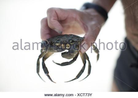 Main tenant au crabe plage. créature, fruits de mer, de griffe, de la nourriture. Banque D'Images
