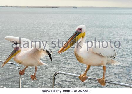 Deux grands pélicans blancs (Pelecanus onocrotalus) sur une balustrade à Walvis Bay, Namibie Banque D'Images
