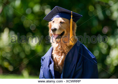 Golden Retriever Dog Avec Graduation Cap Et Fond Blanc Banque D
