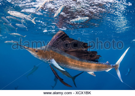 Voilier de l'{} Istiophorus albicans appât ball attaque de sardines espagnol Sardinella aurita {} au large de la péninsule du Yucatan Banque D'Images