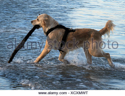 Golden Retriever de l'extraction d'un stick de la mer Banque D'Images