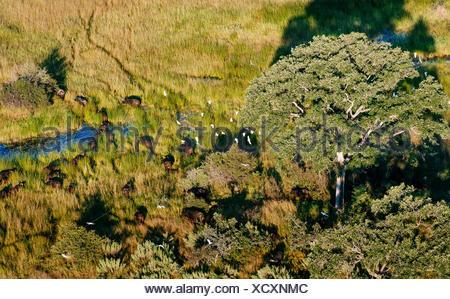 Une vue aérienne d'un troupeau de buffle. Banque D'Images