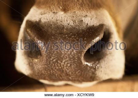 Nez d'une vache autrichienne, Brown Swiss, avec perle d'eau