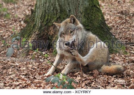 Loup européen se trouve sur le terrain et des rayures, Banque D'Images