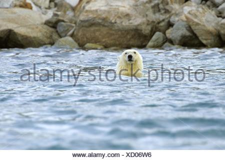 L'ours polaire (Ursus maritimus), nager dans la mer en face de la côte, la Norvège, Svalbard, Holmiabukta