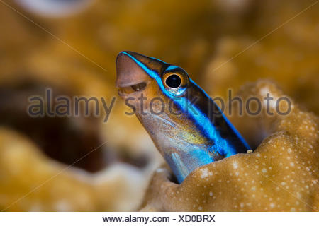 Fangblenny Plagiotremus tapeinosoma, piano, Flores, Indonésie Banque D'Images