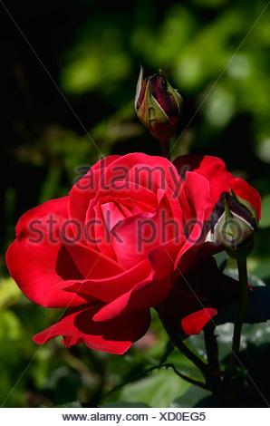 Red Rose (Rosa sp.), fleur, moriani, Corse, France, Europe Banque D'Images