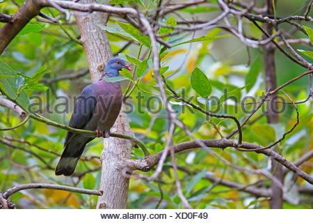 La bolle pigeon (Columba bollii), assis dans un figuier, Canaries, La Palma