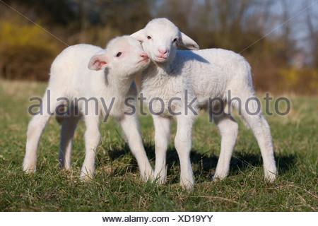 Deux agneaux dans domaine Banque D'Images