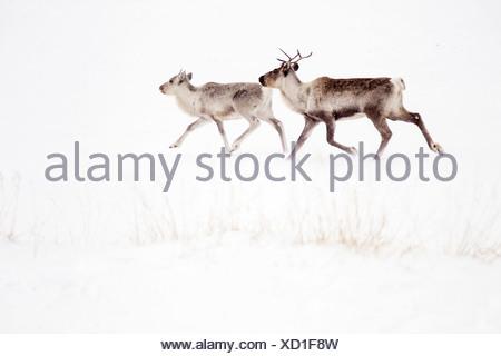 Le renne (Rangifer tarandus) et adultes chez des veaux domestiqués mais s'exécutant sur île de Varanger neige Norvège Finnmark Banque D'Images