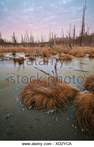 L'herbe givrée dans un marécage gelé au coucher du soleil; Edmonton Alberta Canada Banque D'Images