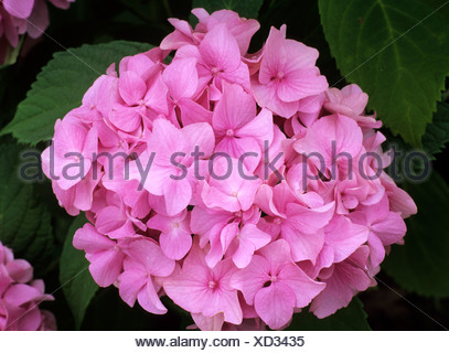 Hydrangea macrophylla 'Bouquet Rose' rose fleur fleurs jardin plantes Banque D'Images