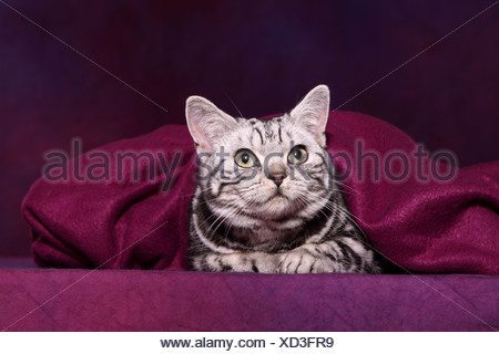 British Shorthair Banque D'Images