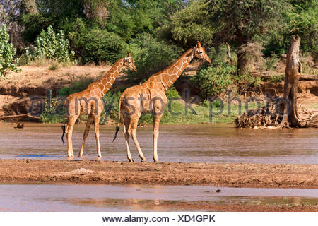 La girafe réticulée (Giraffa camelopardalis reticulata) debout dans le fleuve, Réserve nationale de Samburu, Kenya