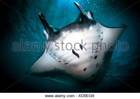 Underwater low angle view of manta (manta alfredi) s'alimenter à surface de l'océan, Bali, Indonésie Banque D'Images