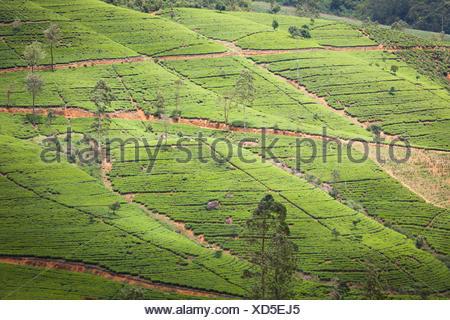 Les plantations de thé de Nuwara Eliya, le sud de l'HILL COUNTRY Banque D'Images
